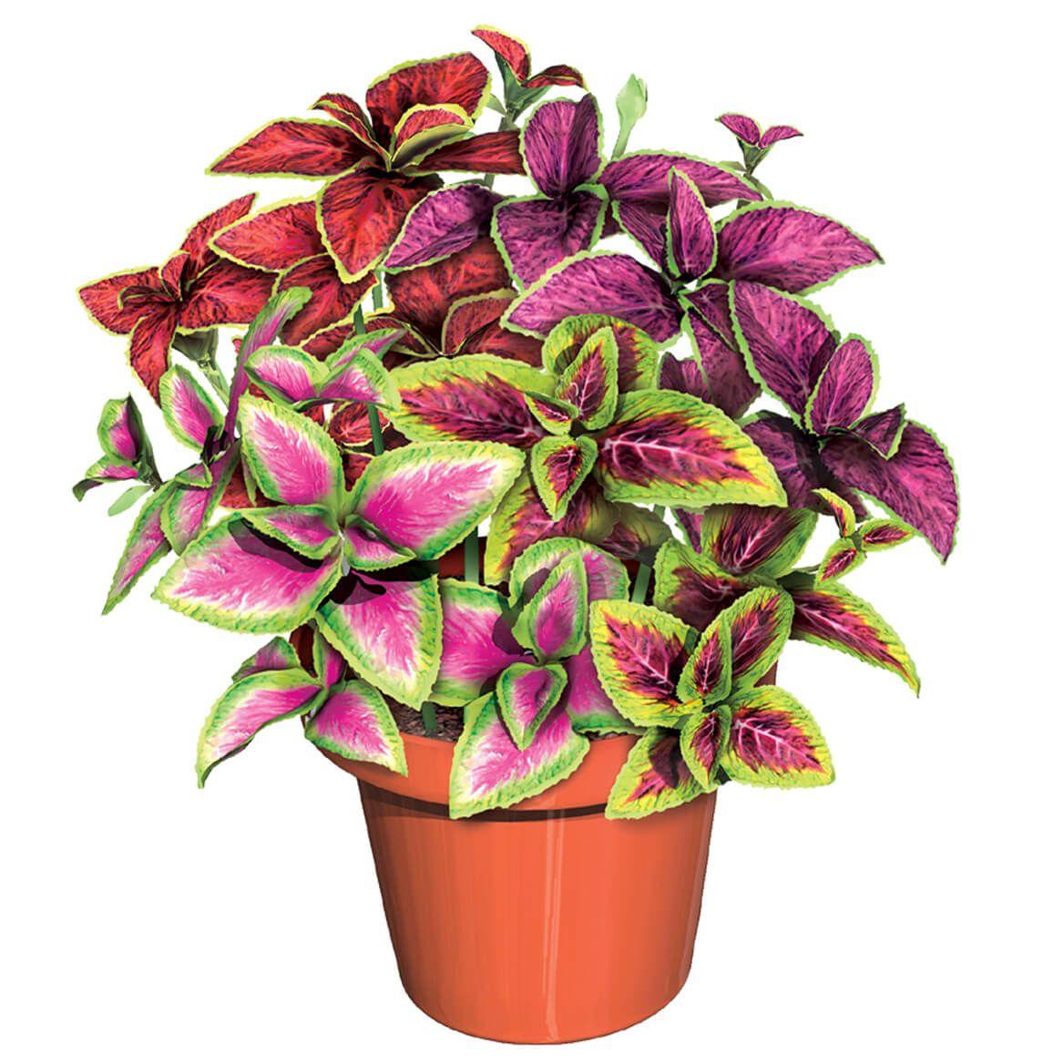 Rainbow Plant S/3-370157