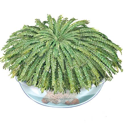 50 Year Resurrection Plant-370498