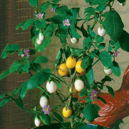 Wonder Egg Plant-362195