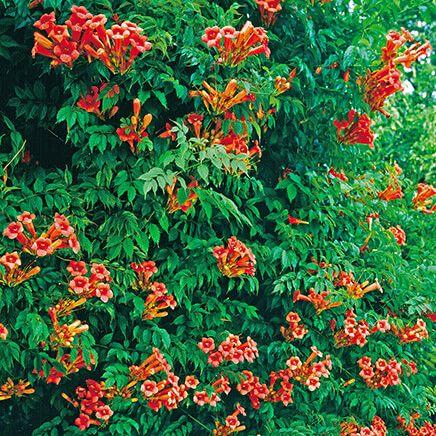 Orange Trumpet Creeper Vine-362194
