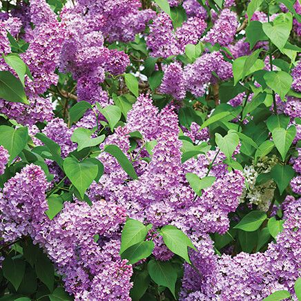 Yankee Doodle Lilac-362285