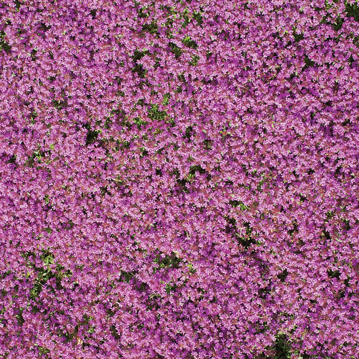 Flower Mat, Ground Cover, Creeping Thyme-363895