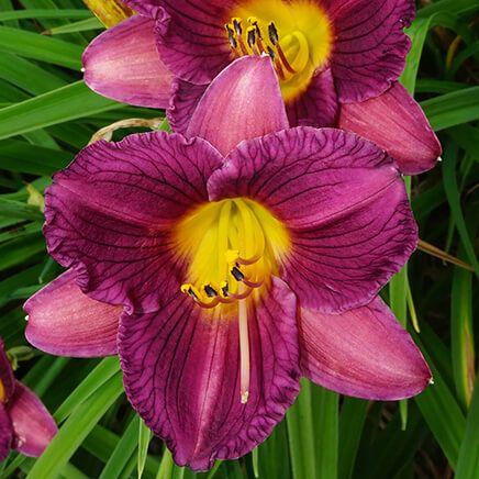 Purple De Oro Daylily-366723