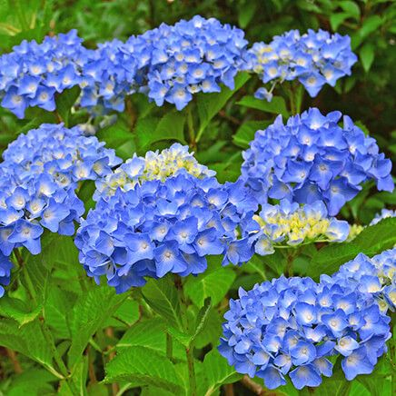 Nikko Blue Hydrangea-366724