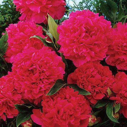 Karl Rosenfield Dark Red Double Peony-366725