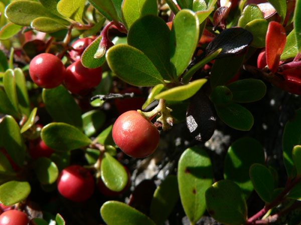 naturally reduce symptoms of urinary tract infections with bearberry leaf