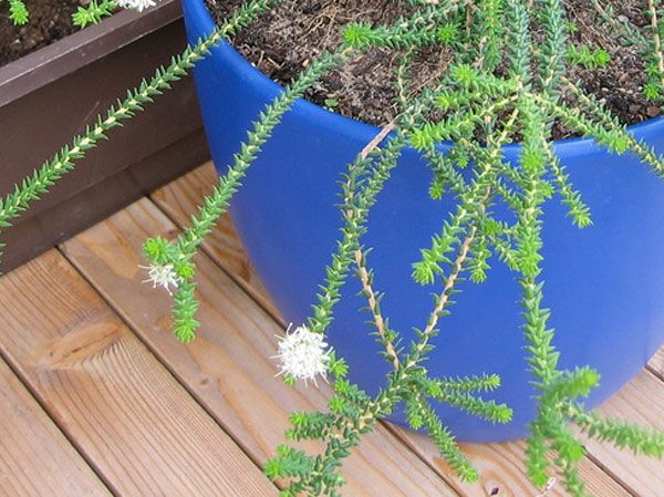 herbal remedy buchu contains urinary antiseptic properties & antioxidants