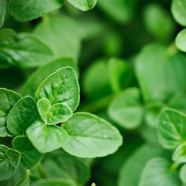 Oregano Oil Native Remedies