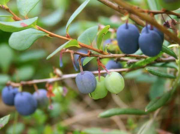 natural health benefits of bilberry - support urinary tract & eye health