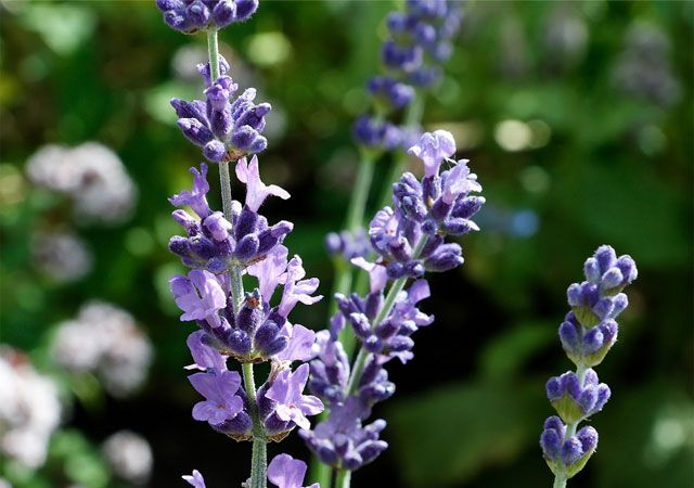 reduce anxiety with natural anti-inflammatory herbal remedy lavender