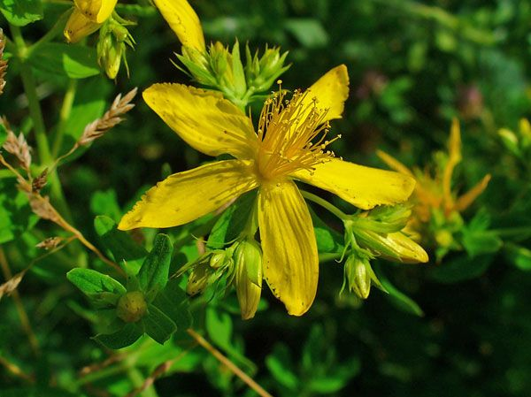 herbal remedy st johns wort reduces depression symptoms naturally