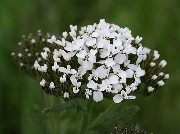 naturally help rejuvenate the skin & pores and reduce ulcers with yarrow