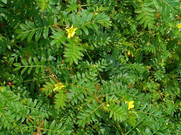 promote proerectile function with the aphrodisiac properties of gokshura