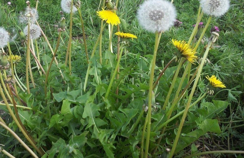 Taraxacum Officinale Dandelion Native Remedies