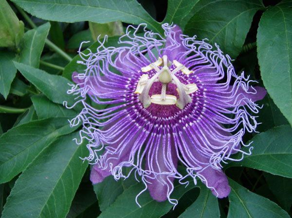natural herbal remedy passion flower reduces anxiety and promotes sleep