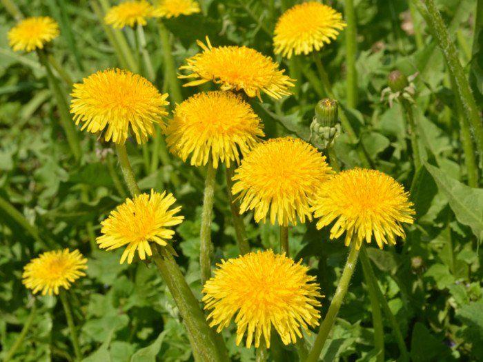 Dandelion - Native Remedies