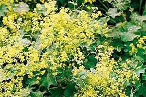 Lady's Mantle Native Remedies