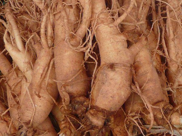 herbal remedy korean ginseng naturally improves memory and calmness