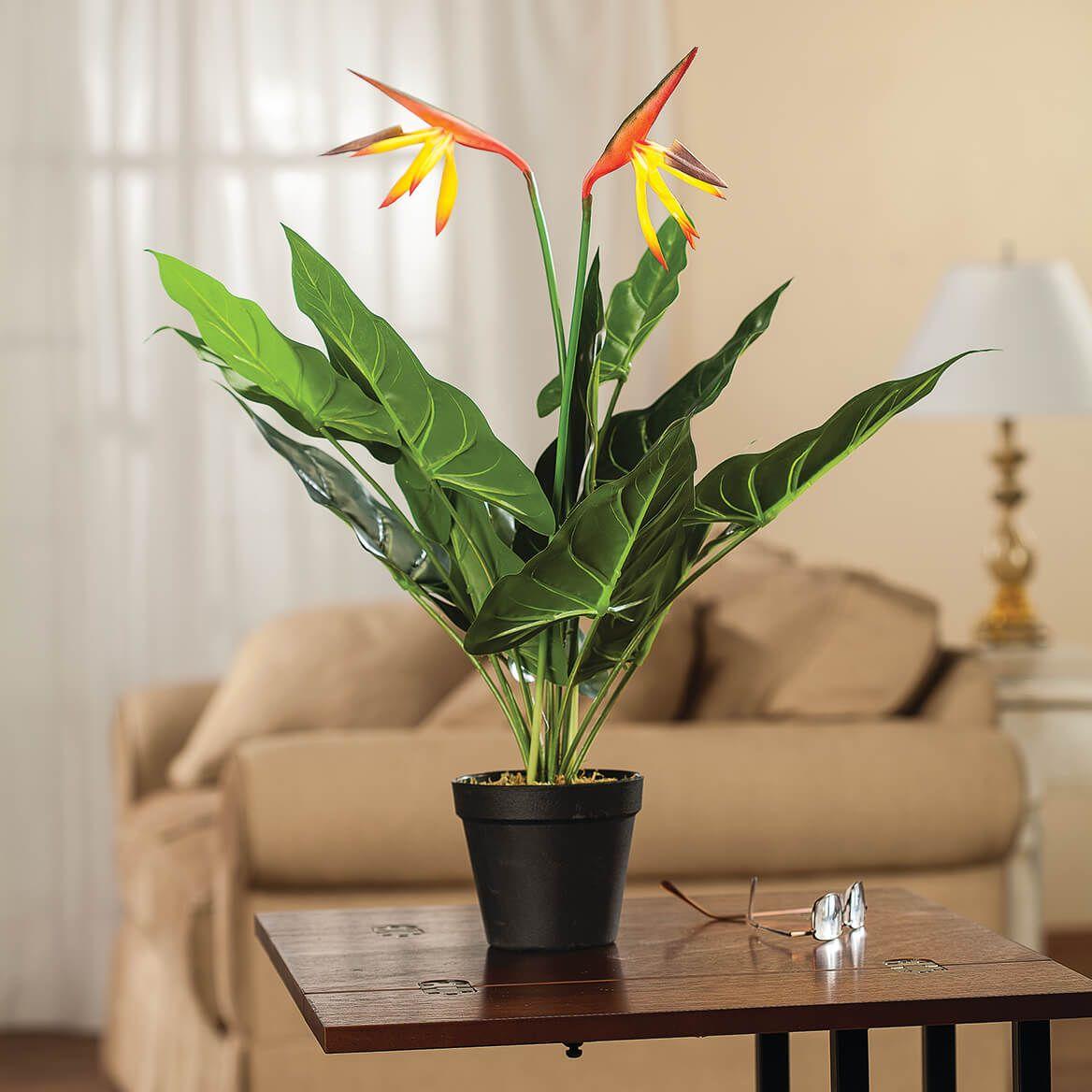 Bird of Paradise Flower in Pot by OakRidge™-368767